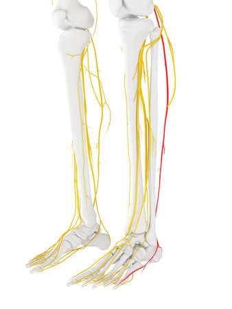 3d Rendered Medically Accurate Illustration Of The Sural Nerve Stock ...