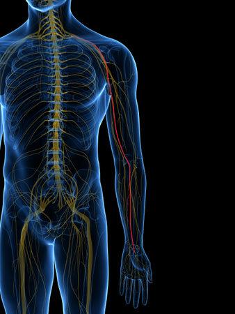방사형 신경의 3D 렌더링 의학적으로 정확한 일러스트 레이션
