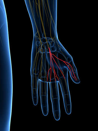 3d rendered medically accurate illustration of the Common Palmar Digital Branches Median Nerve