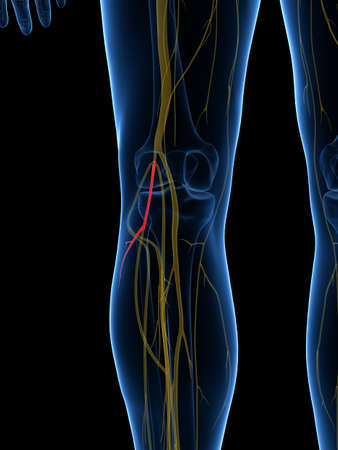 3d Rendered Medically Accurate Illustration Of The Lateral Sural ...