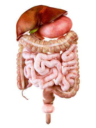 medically accurate illustration of the human digestive system Stock Photo