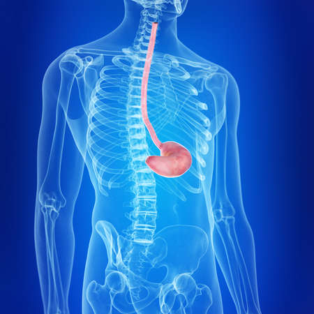 3d rendered, medically accurate illustration of the stomach