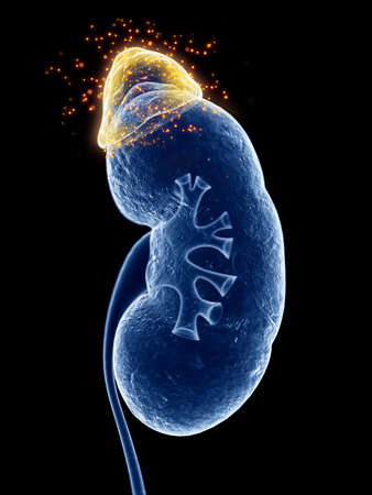 3d rendered, medically accurate illustration of the adrenal gland producing hormones
