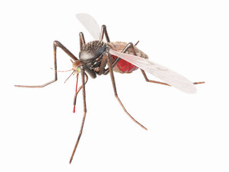 3d rendered, medically accurate illustration of a mosquito Stock Photo