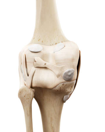 medically accurate illustration of the human skeletal knee