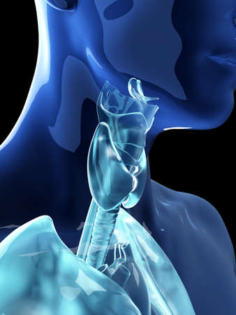 3d rendered medically accurate illustration of the human thyroid and larynx