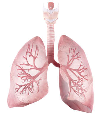 medically accurate illustration of the human lung and bronchi Stock Photo