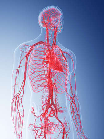 medically accurate illustration of the vascular system