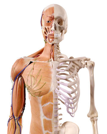 medically accurate illustration of the muscles and skeleton Stock Photo