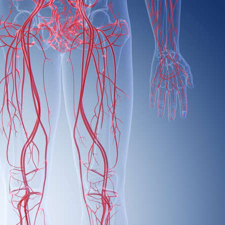 3d rendered medically accurate illustration of the human leg blood vessels Imagens