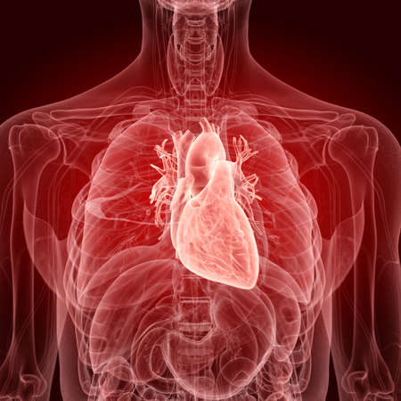 medically accurate illustration of the human heart Stock Photo
