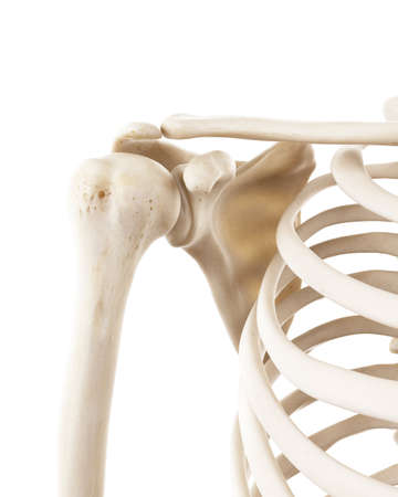 3d rendered medically accurate illustration of the human shoulder bones Stock Photo