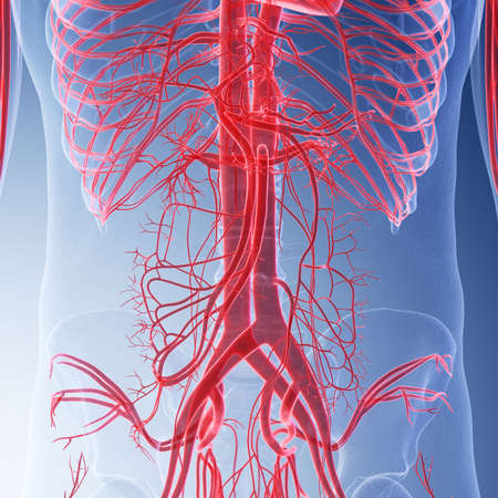 3d rendered medically accurate illustration of the human abdominal blood vessels