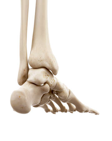 3d rendered medically accurate illustration of the human skeletal foot