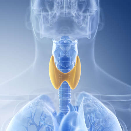 medically accurate illustration of the thyroid