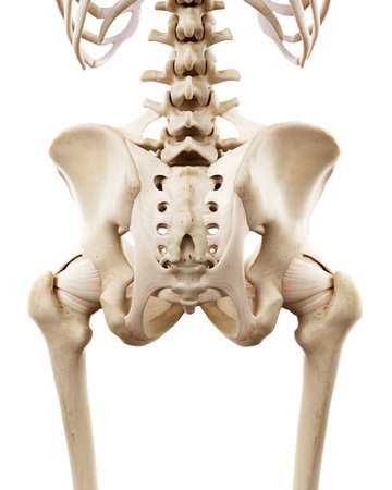 medically accurate illustration of the human skeletal hip Stock Illustration - 100707242