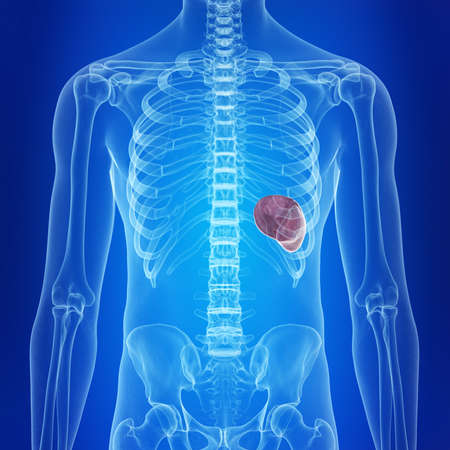 medically accurate illustration of the healthy spleen