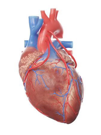 3d rindió la ilustración médicamente exacta de un corazón con 3 derivaciones
