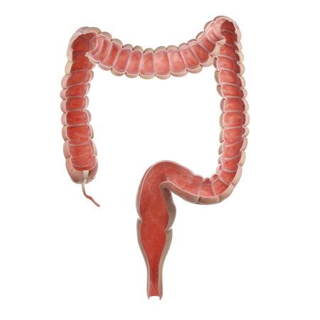 Illustration médicalement précise en rendu 3D d'une coupe antérieure du côlon humain