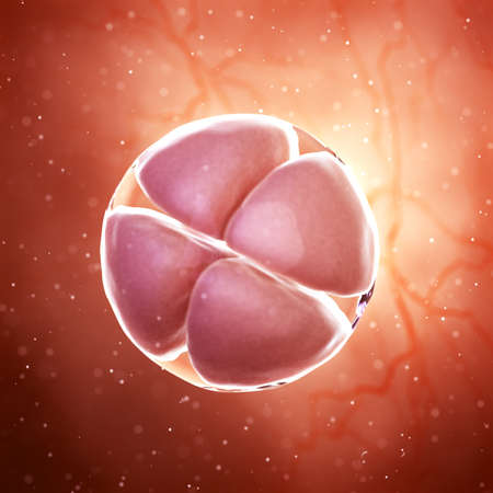 3d rendered medically accurate illustration of a 4 cell stage embryo Banco de Imagens