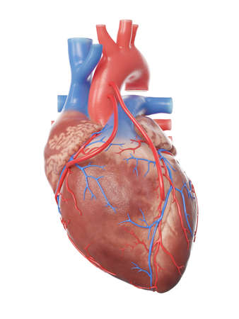 3d rendered medically accurate illustration of a heart with 2 bypasses
