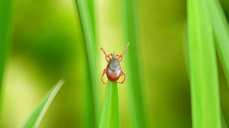 3d rendered illustration of a tick on a grass blade Stock Photo