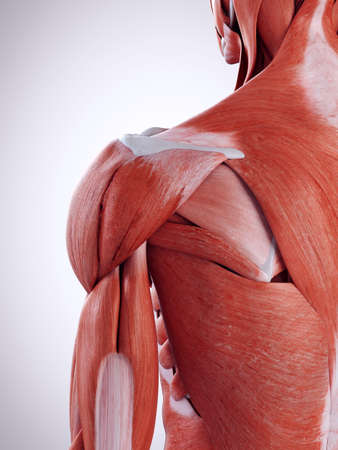 3d rendered medically accurate illustration of the shoulder muscles