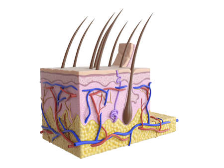 3d rendered medically accurate illustration of the human skin Фото со стока