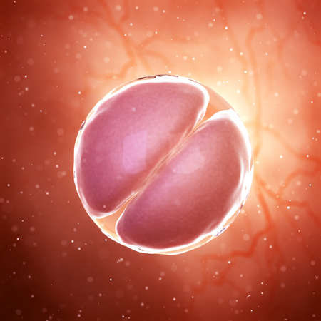 3d rendered medically accurate illustration of a 2 cell stage embryo