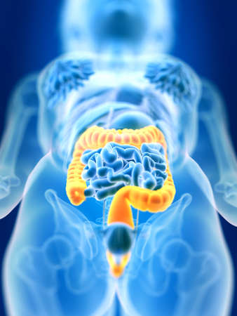 3d rendered medically accurate illustration of a females colon