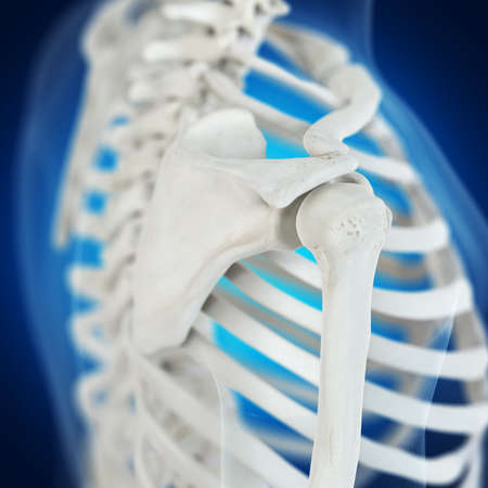 3d rendered medically accurate illustration of the skeletal shoulder
