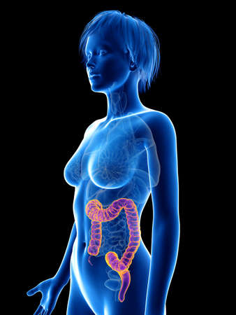 3d rendered medically accurate illustration of a womans colon Stock Illustration - 108639570