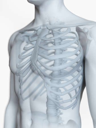 3d rendered medically accurate illustration of the male skeletal anatomy