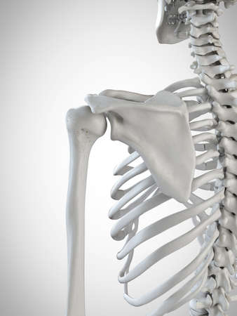 3d rendered medically accurate illustration of the shoulder bones Stock Photo