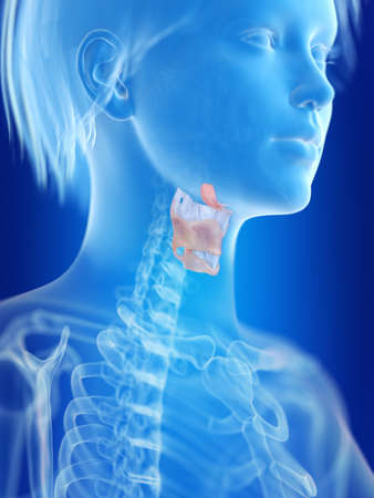 3d rendered medically accurate illustration of a womans larynx