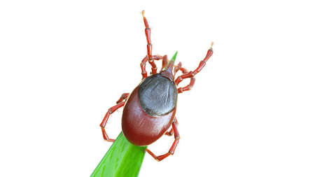 3d rendered illustration of a tick waiting for prey Stock Photo