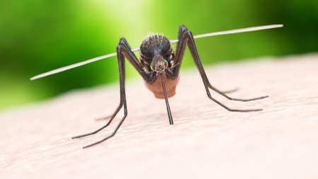 3d rendered illustration of a mosquito biting Stock Photo