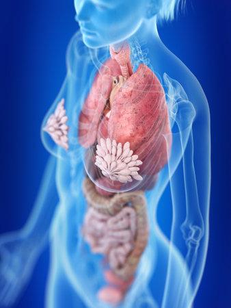 3d rindió la ilustración médicamente exacta de la anatomía del tórax de una mujer