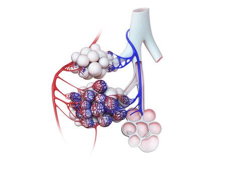 3d rendered illustration of the human alveoli