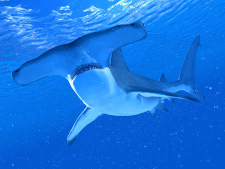 3d rendered illustration of a hammerhead shark Stock Photo