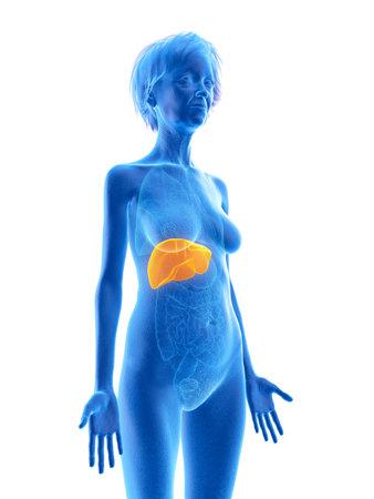 3d rendered medically accurate illustration of an elder females liver Foto de archivo - 110592380