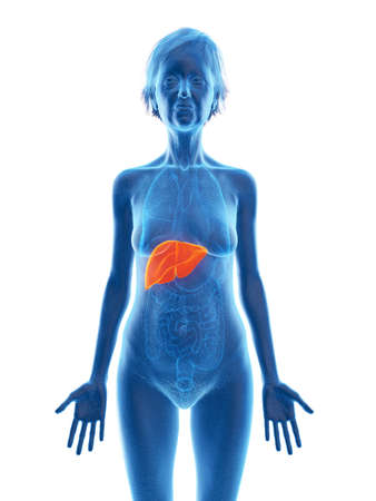 3d rendered medically accurate illustration of an elder females liver
