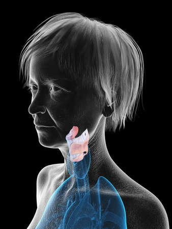 3d rendered medically accurate illustration of an elder females larynx Banco de Imagens