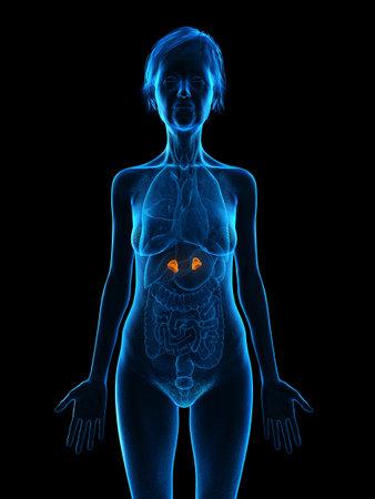 3d rendered medically accurate illustration of an elder females adrenal glands