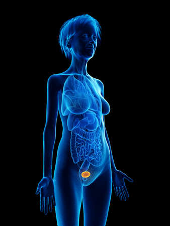 3d rendered medically accurate illustration of an elder females bladder Stock Illustration - 110662965