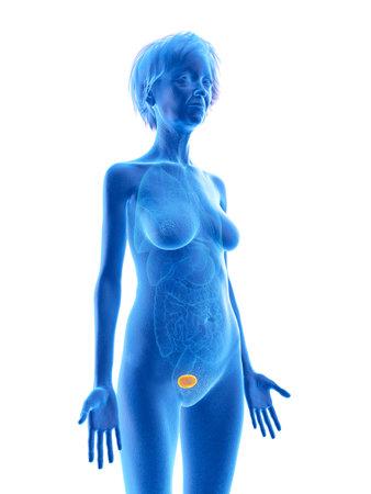3d rendered medically accurate illustration of an elder females bladder Stock Illustration - 110662985