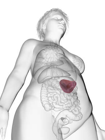 3d rendered medically accurate illustration of an obese womans spleen Stock Photo