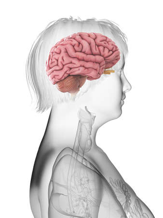3d rendered medically accurate illustration of an obese womans brain