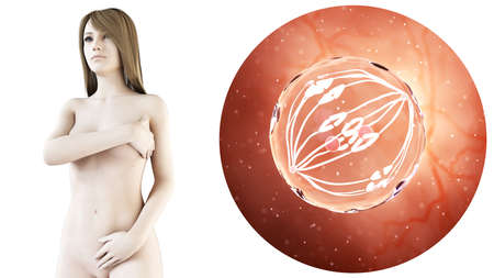 3d rendered medically accurate illustration of a pregnant woman, dividing egg cell