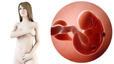 3D gerenderte medizinisch genaue Abbildung einer schwangeren Frau, Woche 6 Standard-Bild